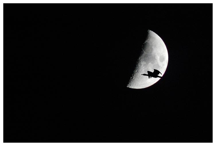 Aalscholver maan